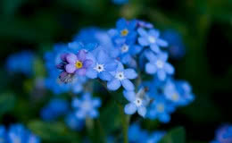 Forget-me-not [Myosotis] flowers